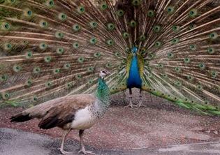 Pair of Peacock